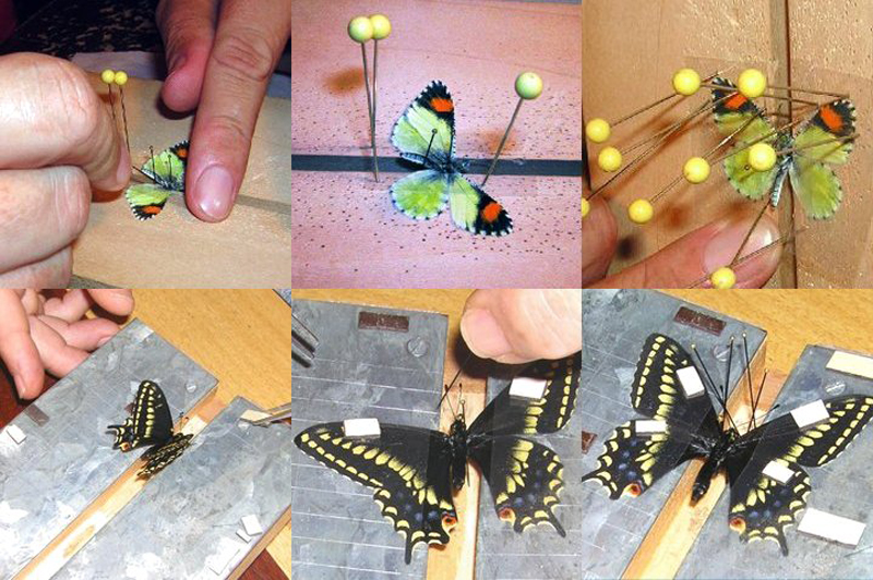 Pinning Insects Board Fine e an Insect Pin And